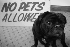 stupid stupid sign (robolove3000) Tags: dog pet sign sad pug kensington stoughton stvinnys ducksoupsignsdesign