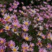 Chrysanthemum 'Clara Curtis' (2)