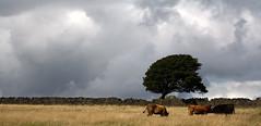 Shaped By Nature (Bob b...) Tags: tree field cattle cows huddersfield lonley deerhillfarm