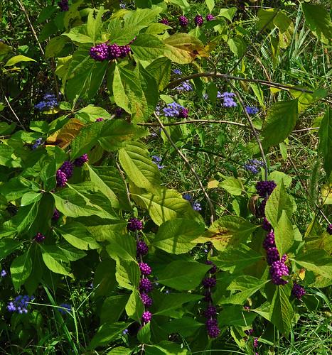 Callicarpa americana and Conoclinium coelestinum (2)
