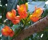 Castanospermum australe (Oriolus84) Tags: blackbean fabaceae castanospermumaustrale moretonbaychestnut castanospermum arfp australianrainforestplants nswrfp qrfp arfflowers orangearfflowers galleryarf tropicalarf lowlandarf uplandarf subtropicalarf cyrfp