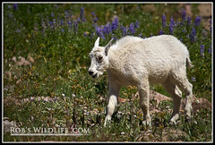 Rocky Mountain Goat-0952-W (RobsWildlife.com  TheVestGuy.com) Tags: nature canon outdoors utah wildlife hike goats backpacking mountaingoats 2010 timp canoncamera provocanyon mttimpanogos rockymountaingoats canon1dmarkiv 81510 thevestguy robdaugherty thevestguycom robswildlifecom robswildlife robswildlifecom robertdaugherty apengrove extremehike rockymtgoats