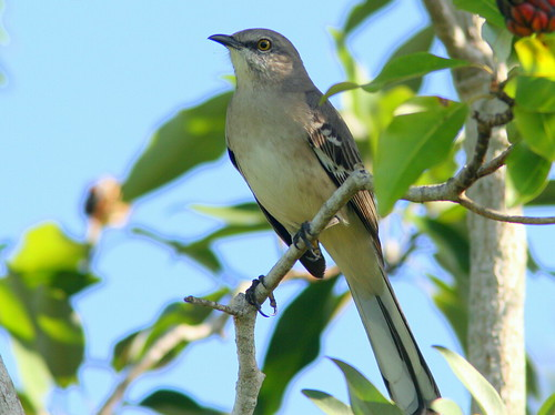 Northern Mockingbird 20100920