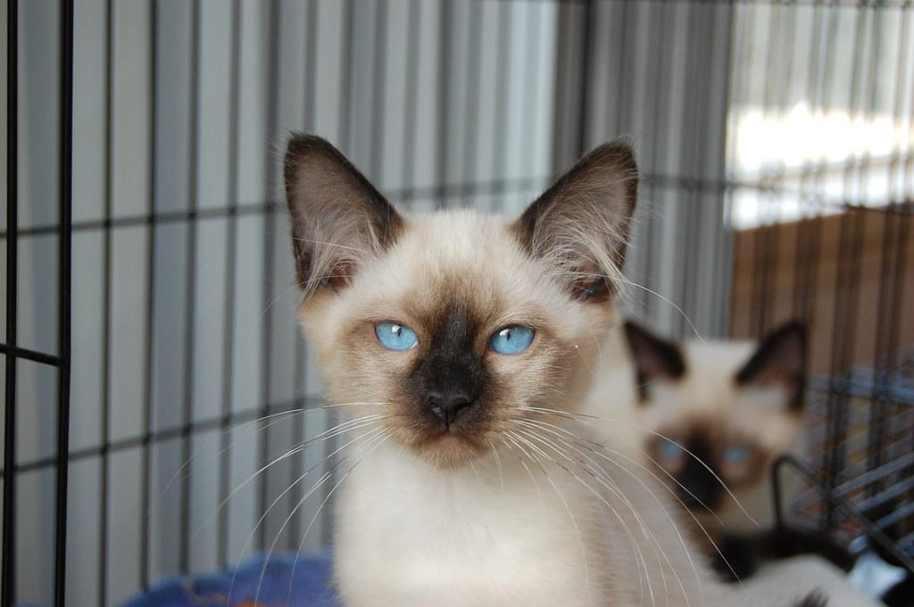 картинки тайская кошка