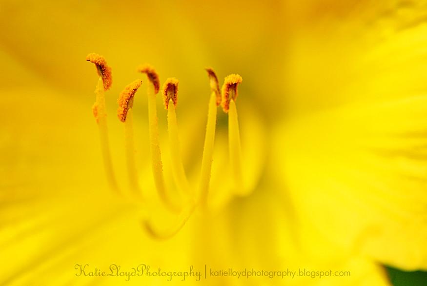 Day-Lily-Pollen---wm