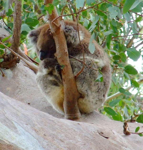 koala naptime 1