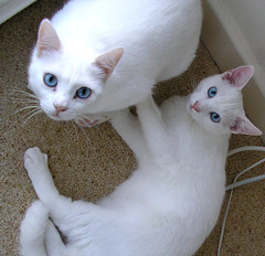 Daisy and Snoopy (twinkle_moon_bunny) Tags: cats white cute snoopy daisy deaf