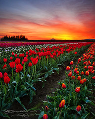 Torches to The Horizon (Gary Randall) Tags: flowers sky clouds oregon sunrise tulips tulip mthood woodenshoe mounthood woodburn colorphotoaward garyrandall thepowerofnow dsc72182