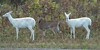 so embarrassed (Chandler Photography) Tags: white nature outdoors deer albino whitetail senecafallsny senecaarmydepot