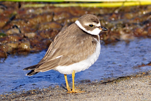 yellow semipalmated plover eyes