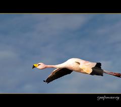 Flamenco en vuelo [2394] (josefrancisco.salgado) Tags: chile bird fauna nikon desert flamingo ave desierto nikkor salar cl flamenco d3 pájaro sanpedrodeatacama salardeatacama saltflat desiertodeatacama atacamadesert repúblicadechile 70300mmf4556gvr reservanacionallosflamencos republicofchile iiregióndeantofagasta provinciadeelloa