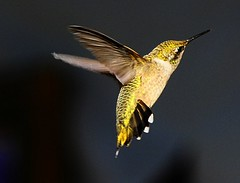 Humming Bird (33Tazz) Tags: bird tom flight humming schoon