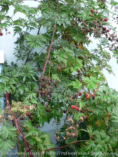 Brombeer-Strauch