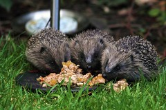 3 young hedgehogs feeding in our backgarden (www.willdawesphotography.co.uk) Tags: bay babies will dawes hedgehogs whitley feeeding willdawes