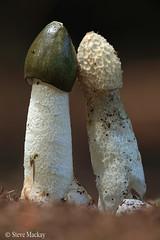 Double Phallus impudicus (Steve Mackay) Tags: mushroom mu