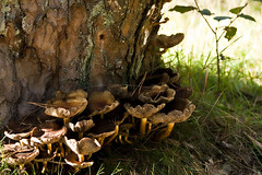 IMG_9168 (taliesin-DS) Tags: trees fall mushroom leaves forest mos bomen herfst bos heide paddestoelen bladeren wezepsche wezepse