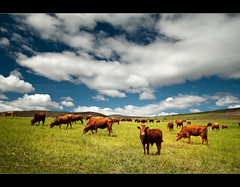 Moo! (Chantal Steyn) Tags: blue sky brown green field grass sunshine clouds rural landscape southafrica nikon cattle cows farm filter handheld polarizer calf elim westerncape d300 gansbaai nohdr baardskeerdersbos avoko 1685mm chantalsteyn