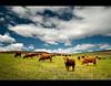 Moo! (Chantal Steyn) Tags: blue sky brown green field grass sunshine clouds rural landscape southafrica nikon cattle cows farm filter handheld polarizer calf elim westerncape d300 gansbaai nohdr baardskeerdersbos avoko 1685mm chantalsteyn