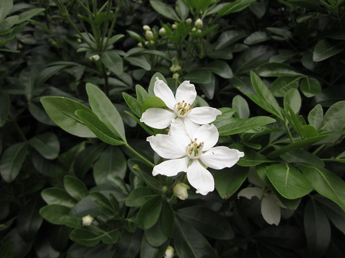 False Orange Blossom?