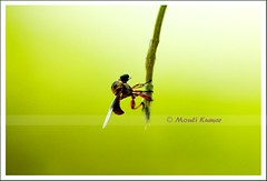 Nature is my medicine!! I am getting addicted to it!! (MouliKumar) Tags: macro green bee hanging canon100mmf28macro canoneos450d