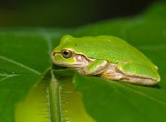 Green Tree Frog In Profile (aeschylus18917) Tags: macro nature japan nikon g wildlife amphibian frog micro  nikkor prefecture nagano treefrog f28 vr ueda naganoprefecture hyla 105mm  anura 105mmf28 natuer amphibia naganoken hylidae    besshoonsen  105mmf28gvrmicro hylajaponica  neobatrachia d700 japanesetreefrog nikkor105mmf28gvrmicro naganoshi   hylinae danielruyle aeschylus18917 danruyle druyle uedashi   hylinaehyla