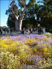 A Bed Of Purple And Yellow (suavehouse113) Tags: flowers garden spring australia september perth daisy flowering wildflowers kingspark botanicgarden westernaustralia philscamera inbloom boabtree brachyscome adansonia kingsparkfestival brachyscomeiberidifolia gijajumulu kingsparkbotanicgarden thegiantboab