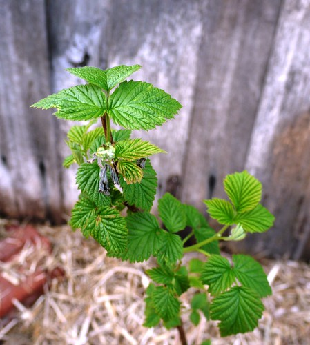 New Raspberry Canes Are Sprouting Leaves