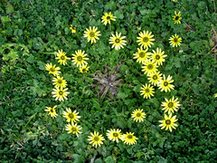 Ring a Ring o' Roses... (jani.na) Tags: flowers roses lake green grass bike yellow stars star spring track ride time o australia ground ring cover canberra around clover griffin act burley ringaringoroses arctothecacalendula capeweed noideawhatthesearecalled apocketfullof