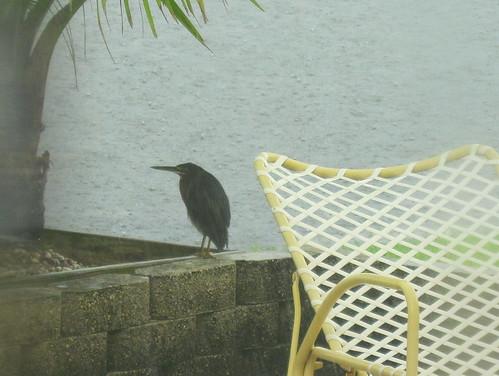 Green Heron 20100929