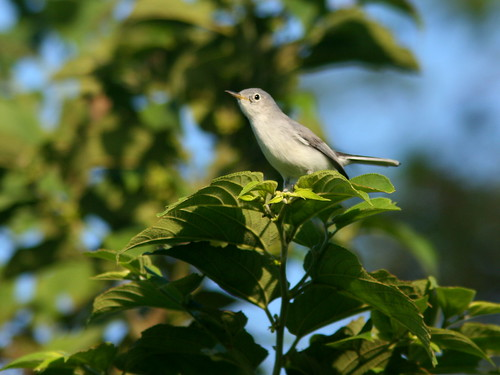 Blue-gray Gnatcatcher 20101001