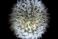 Close-Up to a Dandelion (Danielsanx) Tags: nature blume makro lwenzahn lichtspiel lwenzahn