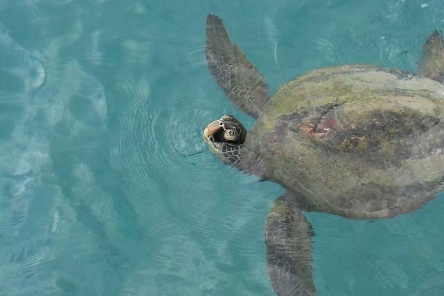 Sea Turle