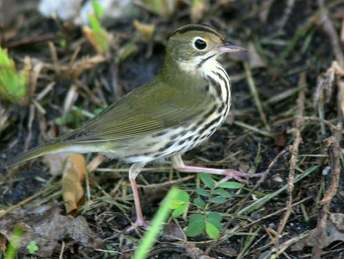 Ovenbird 2-20101003