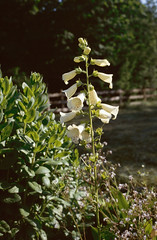St-Germain-Lavolps (Corrèze) (Cletus Awreetus) Tags: france fleur 35mm digitale fujichrome corrèze stgermainlavolps saintgermainlavolps