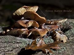 Brought to You by the Mushroom Hunter (Karen Brodie Photography) Tags: ontario canada macro mushrooms leaf oak nikon web fungi milton rattlesnakepoint dsc8418 d3s