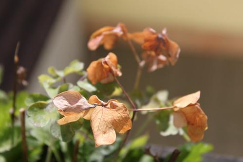 Akalei im Herbst