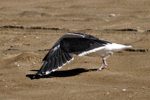 great black-backed gull attack