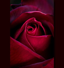 Red Roses (steffi's) Tags: autumn red flower macro rot nature rose october redrose fragrant eroica scented excellence rosaceae duftend edelrose rosengartenheiligberg rosaerotika adrrose1969 tantau1968