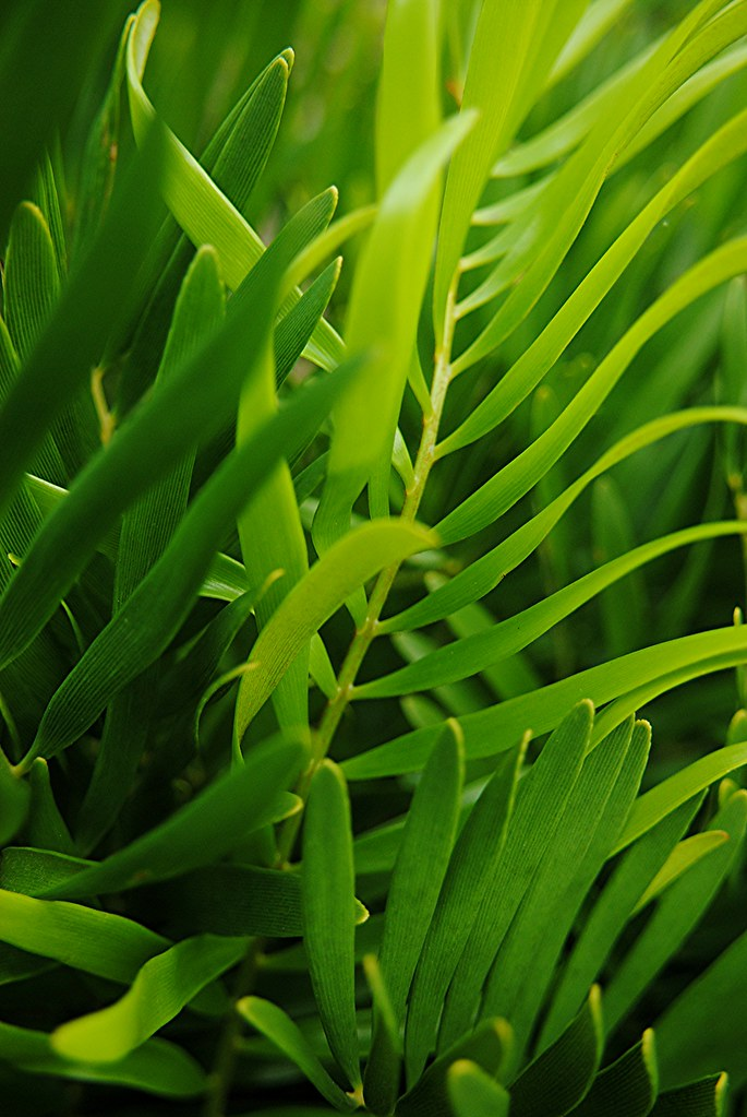 Strong leathery green Coontie leaves reach for the light