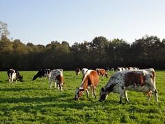 Koeien in de wei, landgoed Groeneveld