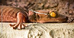 Fernbank Gecko exhibit (C.Fredrickson Photography) Tags: atlanta canon ga georgia tubes august extension geckos 2010 fernbankmuseum 100400mml dailynaturetnc11