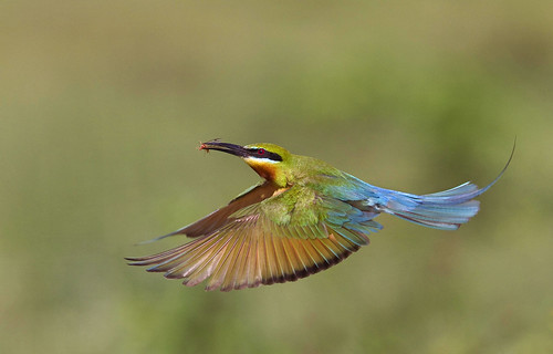 Bird - Blue Tail Bee Eater