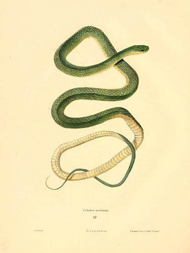 001-Coluber aestivus-North American herpetology…1842-Joh Edwards Holbrook