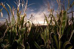 Cornfield (dkentner) Tags: sunset corn nikon cornbellys d700