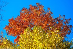 Indian summer in Beaver Valley (PRS Images) Tags: blue autumn sky orange ontario tree fall leaves yellow beavervalley colorefex