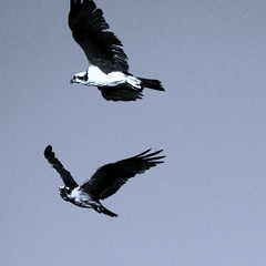 """Just wanted to leave you with a """" lighter """" image for tonight ;-) (azraviolet 9) Tags: light two seagulls monochrome square wings air flight violet azra gaviotas vuelo"""