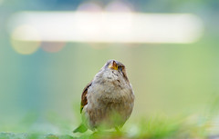 Dreaming (_David_Meister_) Tags: bird animal bokeh dream dreaming sparrow tier vogel spatz traum trumen davidmeister