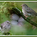 junco.nest.fledged.c.crawford