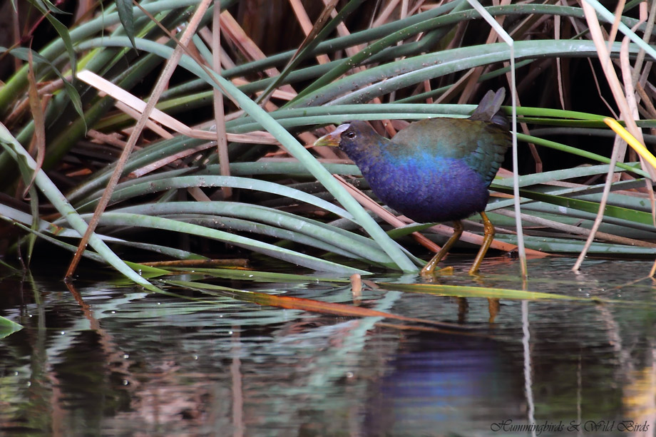 Purple-Gallinule-101008