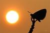 THE LAST SUNSRISE (Siprico - Silvano) Tags: sunrise canon butterfly alba natura macros farfalla macrofotografia cernuscosulnaviglio macrofografia buzznbugz siprico fotografianaturalistica soloreflex 100commentgroup pricoco silvanopricoco wwwpricocoorg httpwwwpricocoorg wwwfotografiamacrocom